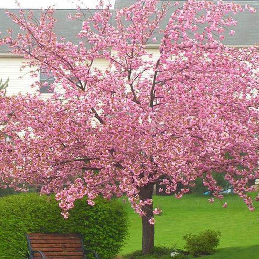 Prunus Kanzan Flowering Cherry