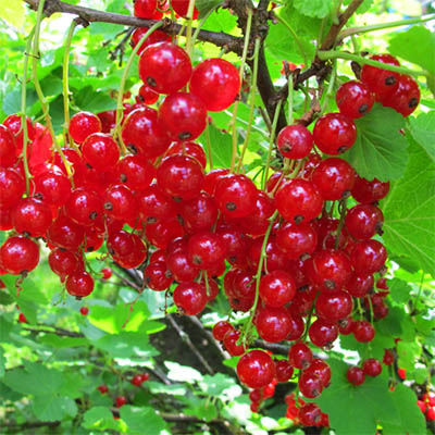 Red Currant Bush - Red Lake