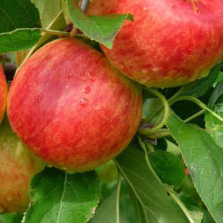 Apple tree ambassy - Fruit trees every type weather area ...