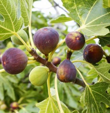 brown turkey fig tree. Black Bedroom Furniture Sets. Home Design Ideas