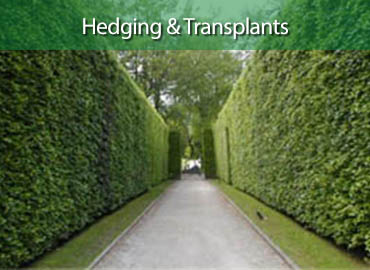 Derwent Treescapes - Hedging and Transplants